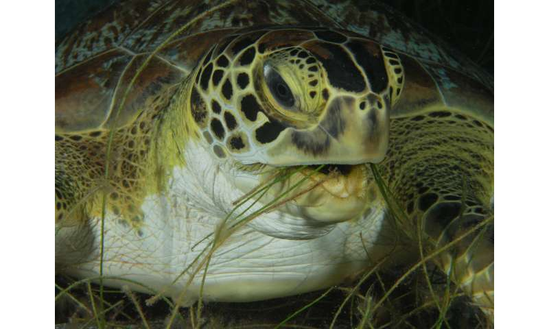 New approach helps mitigating the effect of climate change on sea turtles