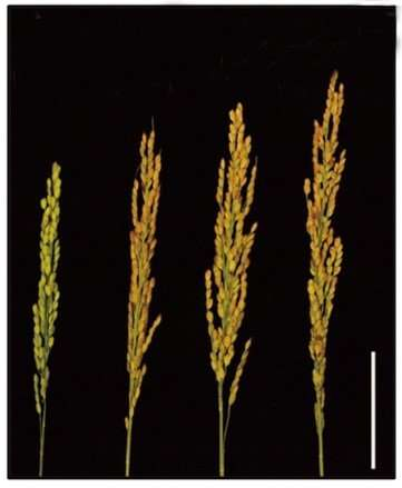New approach to improve nitrogen use, enhance yield, and promote flowering in rice