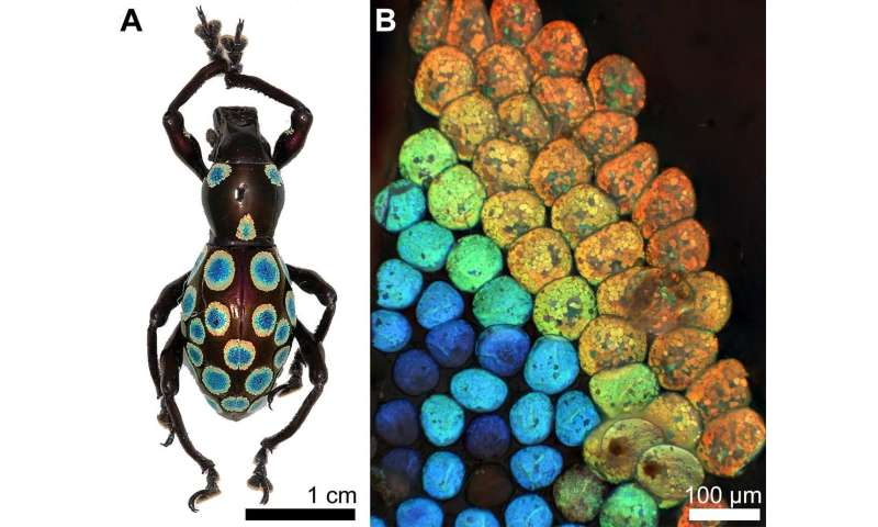 New colour-generation mechanism discovered in 'rainbow' weevil