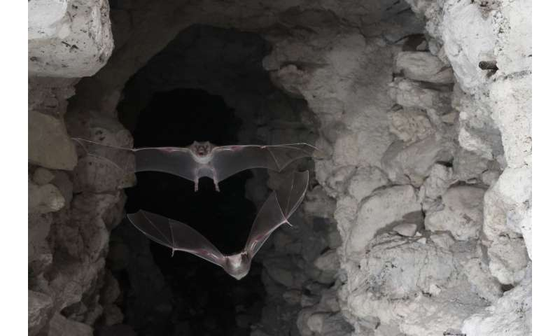 New DNA screening reveals whose blood the vampire bat is drinking