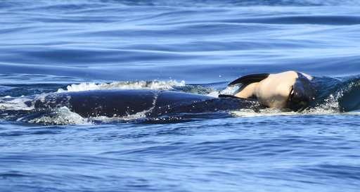 New endangered Puget Sound orca dies soon after birth (Update)