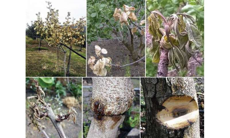 New fungus found to cause cankers and declines in pistachio trees in Sicily, Italy