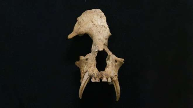 New gibbon genus discovered in ancient Chinese tomb