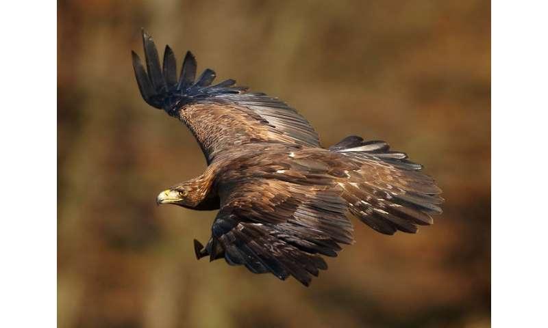 Jitunews Com Mengenal Elang Emas Asal Meksiko Golden Eagle