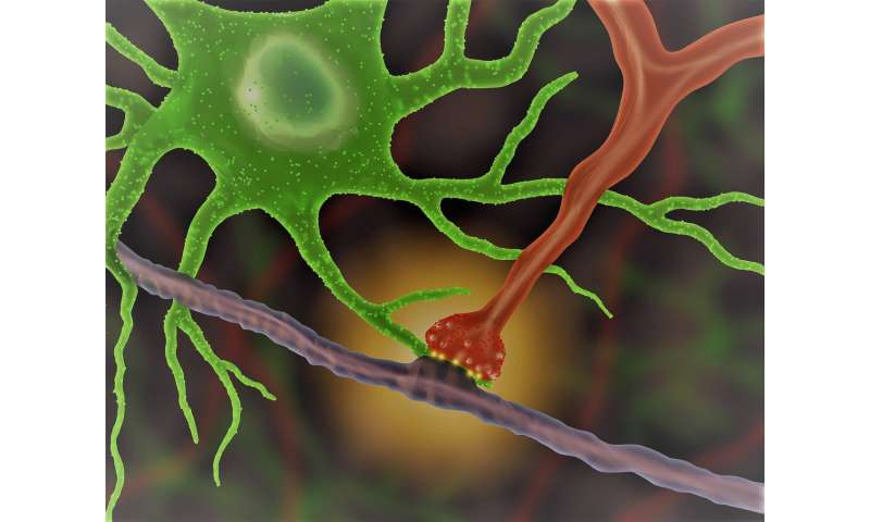 New method allows scientists to watch brain cells interacting in real time