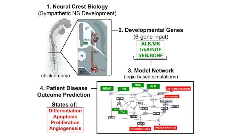 New model for predicting neuroblastoma outcomes incorporates early developmental signals