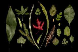 New model is a leap forward in understanding plant organ growth