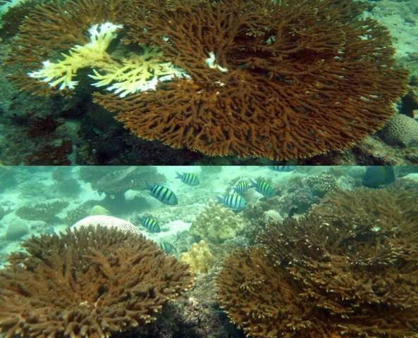 New NYU Abu Dhabi research suggests corals produce molecules that can help resist disease
