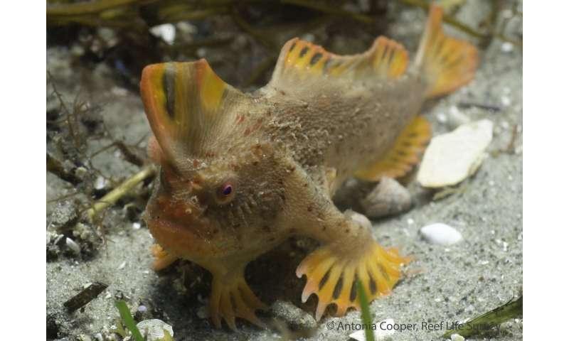 New population of world's rarest fish discovered off Tasmanian coast
