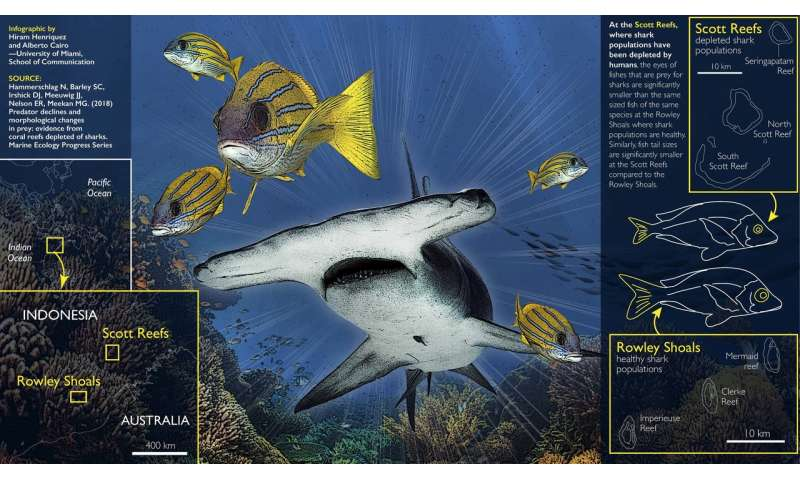 New study suggests shark declines can lead to changes in reef fish body shapes
