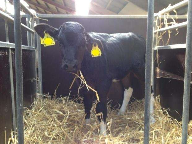 New test procedures will save dairy cows from Mycoplasma bovis disease