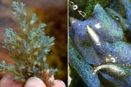 New type of opal formed by common seaweed discovered