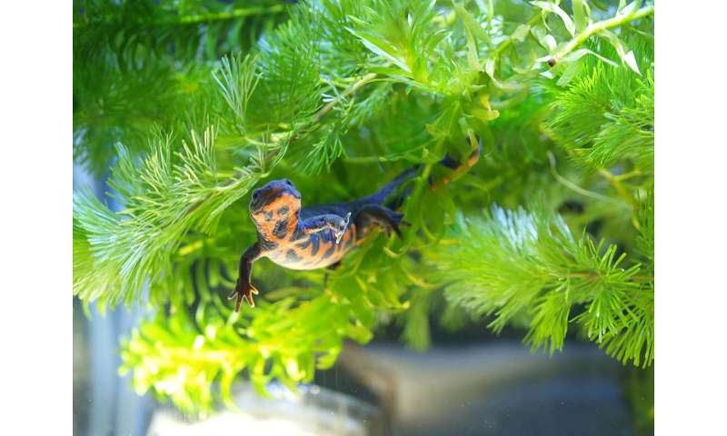 Novel gene in red blood cells may help adult newts regenerate limbs