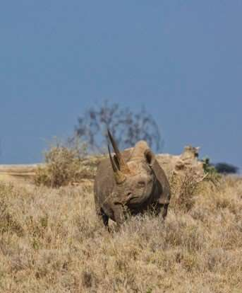 NSU researcher part of team using DNA to protect the rhinoceros from extinction