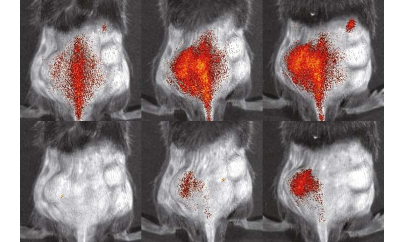 Observing inflammatory cells in the body