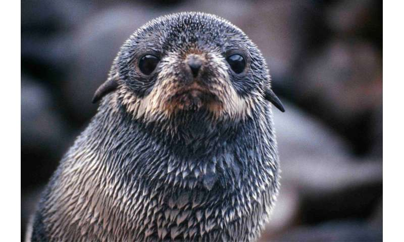 Ocean winds influence seal pup migration
