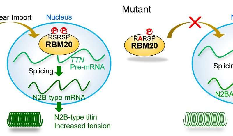 Of hearts and giants: Moving a cardiac regulatory protein to the right place
