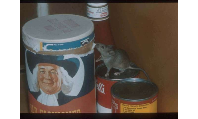 Of mice and disease: Antibiotic-resistant bacteria discovered in NYC house mice