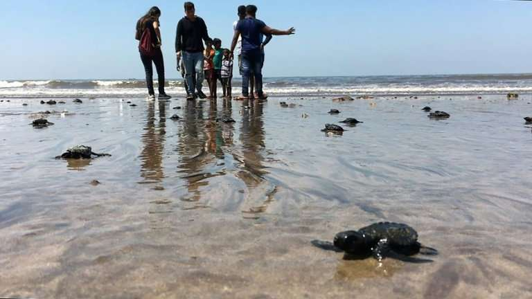 Olive ridley sea turtle hatchlings make their way to the Arabian Sea on Versova beach in Mumbai, as the species returns to India