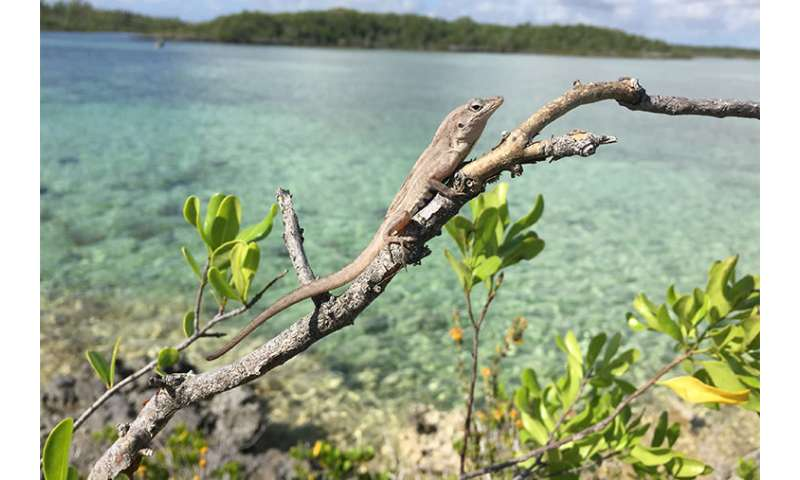 On a deserted island, risk-taking lizards survive better. With predators? Not so much