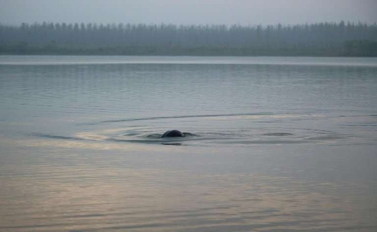 One of the world's few freshwater porpoise subspecies, the  Yangtze finless porpoise is considered a natural barometer of the ov