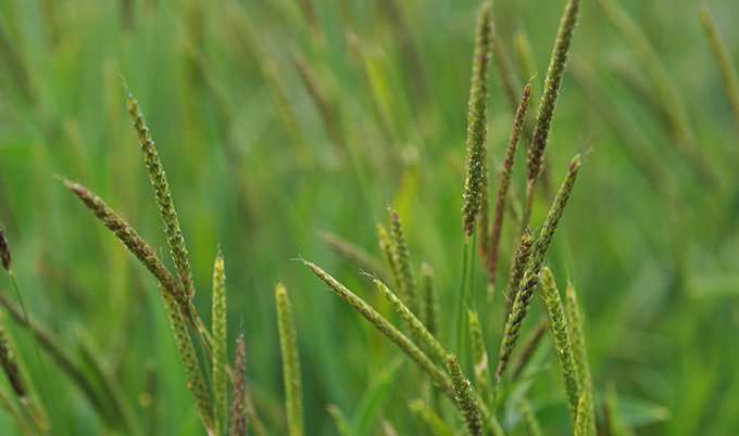 One-step test for the detection of herbicide resistance in blackgrass