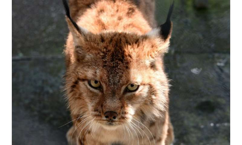 Only about 40 Balkan Lynxes still roam the mountains of Albania and neighbouring Macedonia
