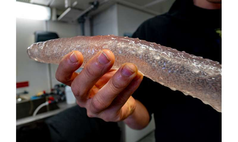 Oregon researchers say sea pickles are adapting to the Pacific Northwest