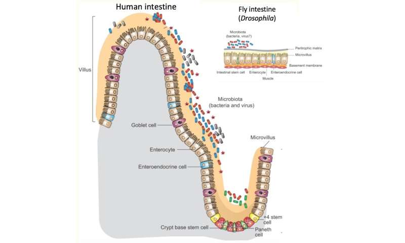 Our intestinal microbiome influences metabolism -- through the immune system