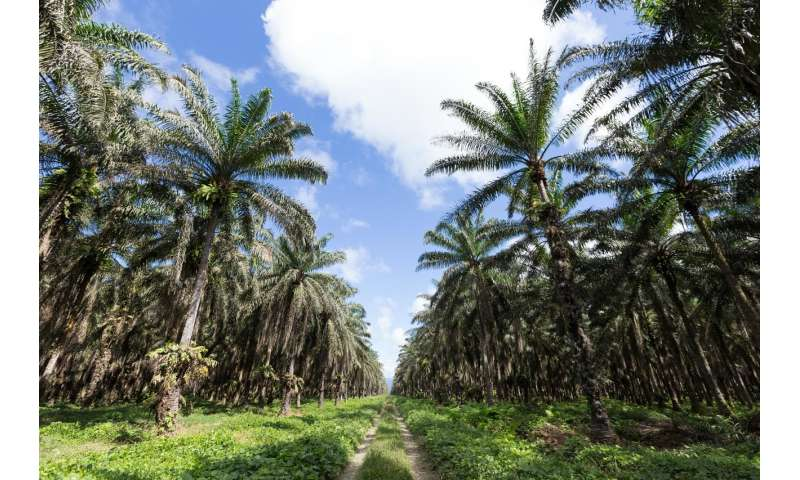 Palm oil in the amazon—threat or opportunity?