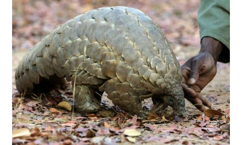 Pangolin scales are widely used in traditional Chinese medicine