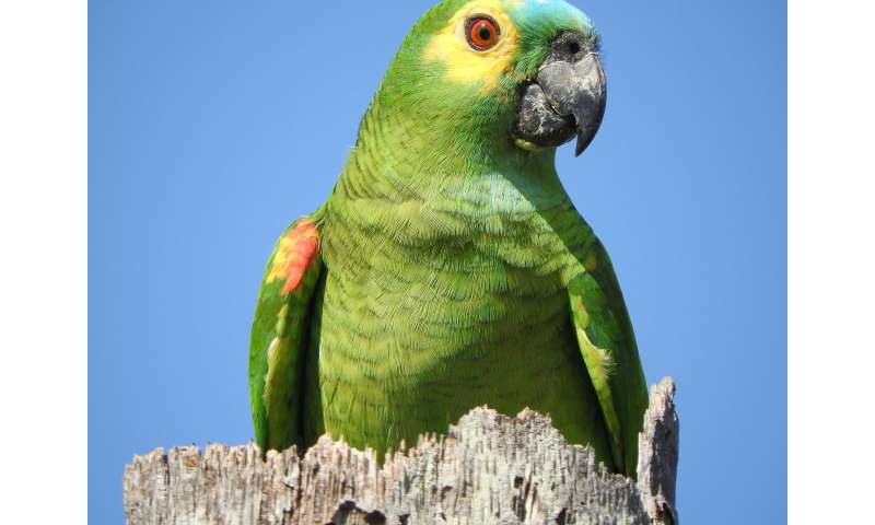 Parrot genome analysis reveals insights into longevity, cognition