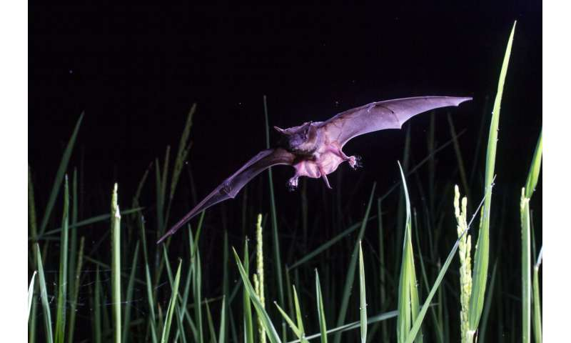 'Pest-controlling' bats could help save rainforests