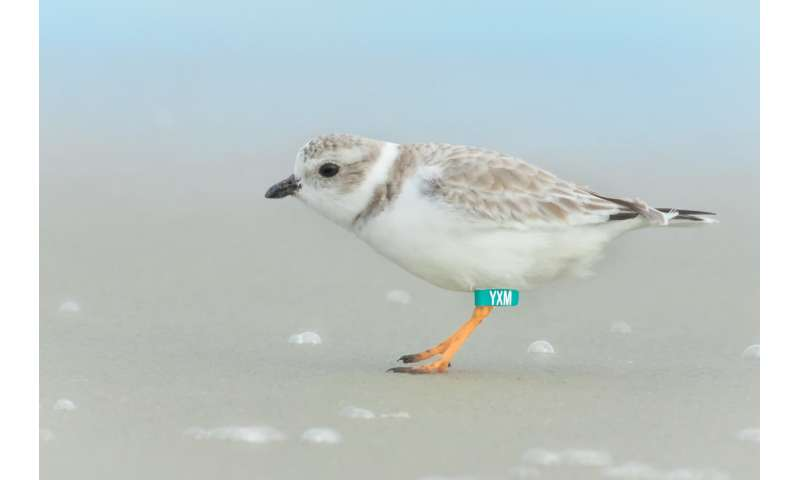 Piping plovers want people to get off their lawn