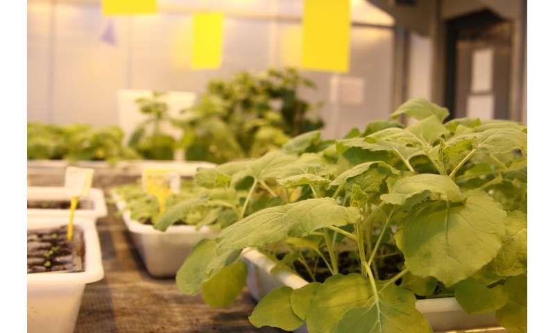 Plants as efficient antifungal factories