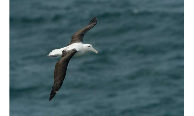 Plastic poses biggest threat to seabirds in New Zealand waters, where more breed than elsewhere