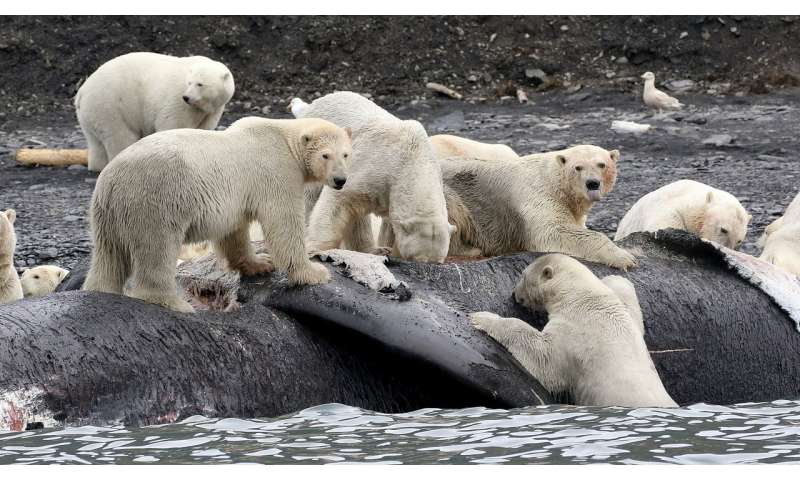 Polar bears gorged on whales to survive past warm periods; won't suffice as climate warms