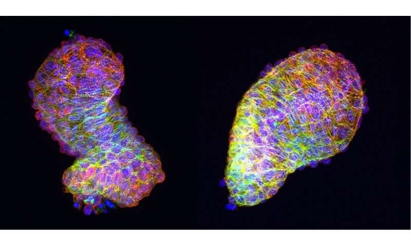 Polarized cells give the heart its fully developed form
