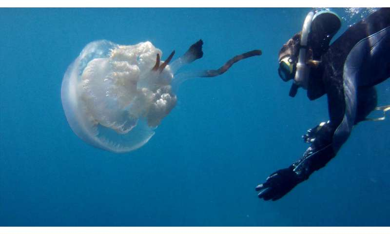 Popular science helps to discover the abundance of this jellyfish