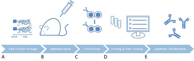 Preclinical characterization of therapeutic antibodies