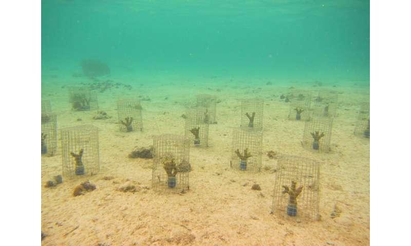 Previously overlooked 'coral ticks' weaken degraded reefs