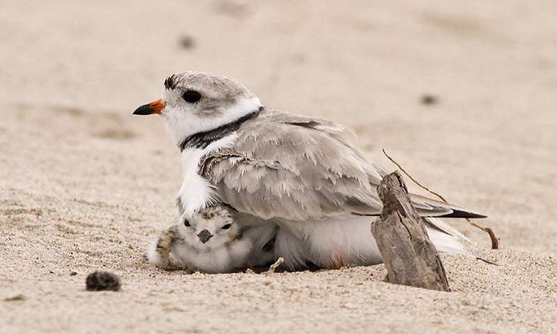 Protecting piping plovers