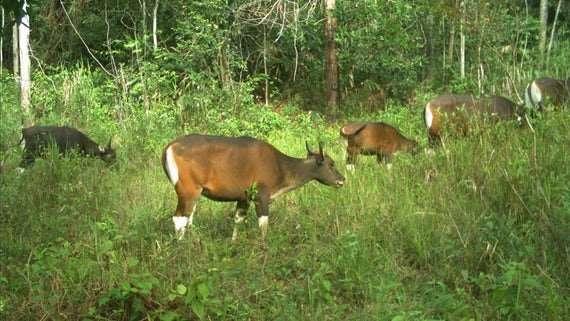 Protecting the Bornean banteng