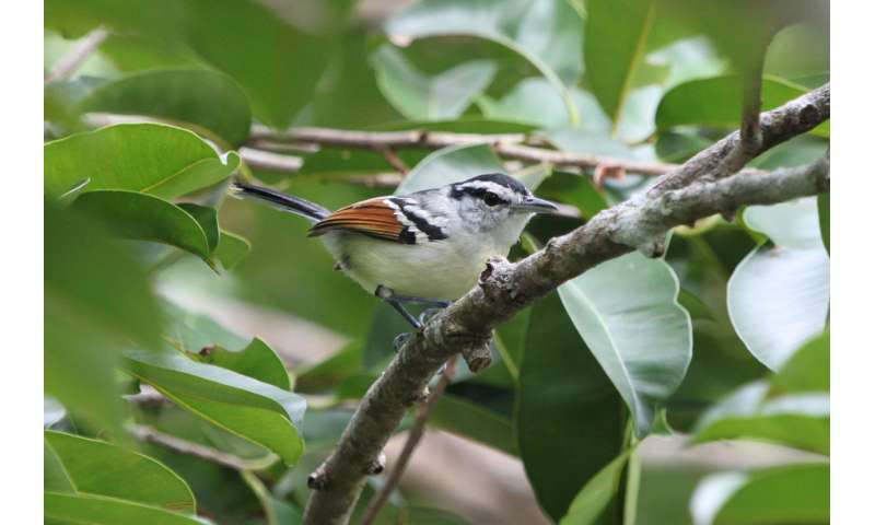 Protecting tropical forest carbon stocks may not prevent large-scale species loss