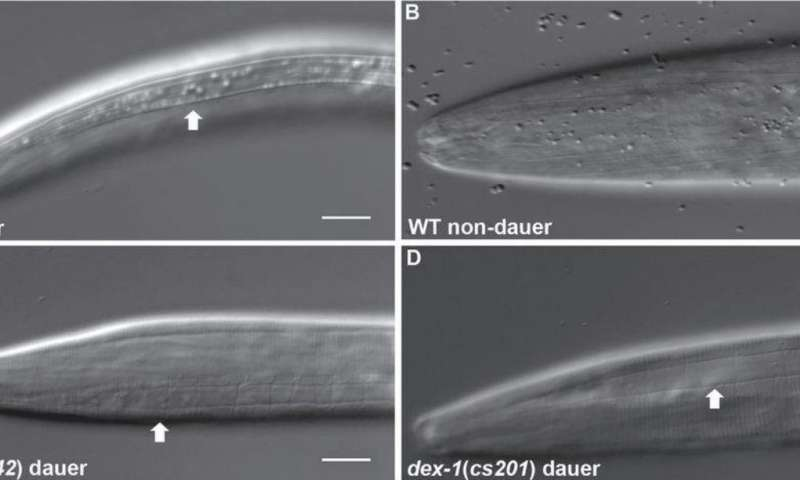 Protein involved in nematode stress response identified