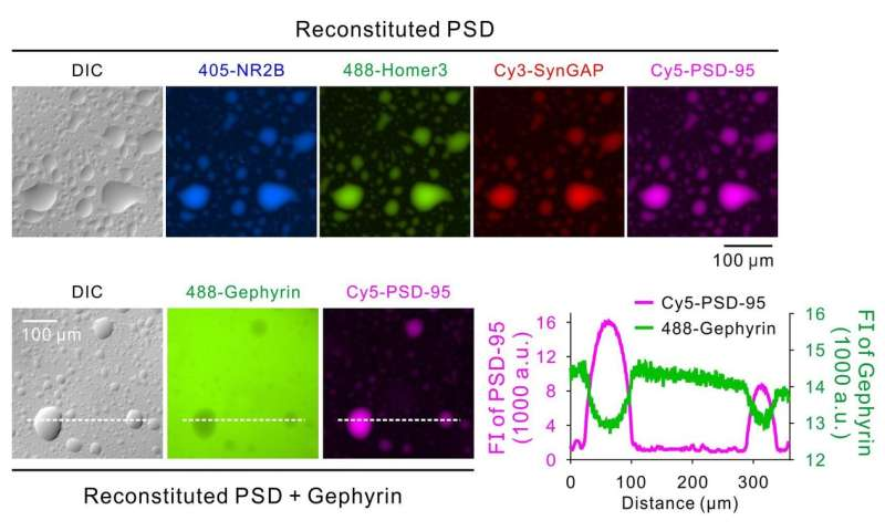 PSD as a molecular platform for understanding synapse formation and plasticity