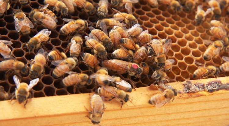 Queen bees and the microbial fountain of youth