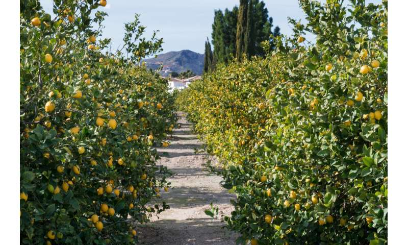 Queen's research suggests the Sicilian mafia arose to power from lemon sales in the 1800s