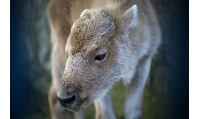 """Dusanka"", an extremely rare white bison, was born at Belgrade zoo"