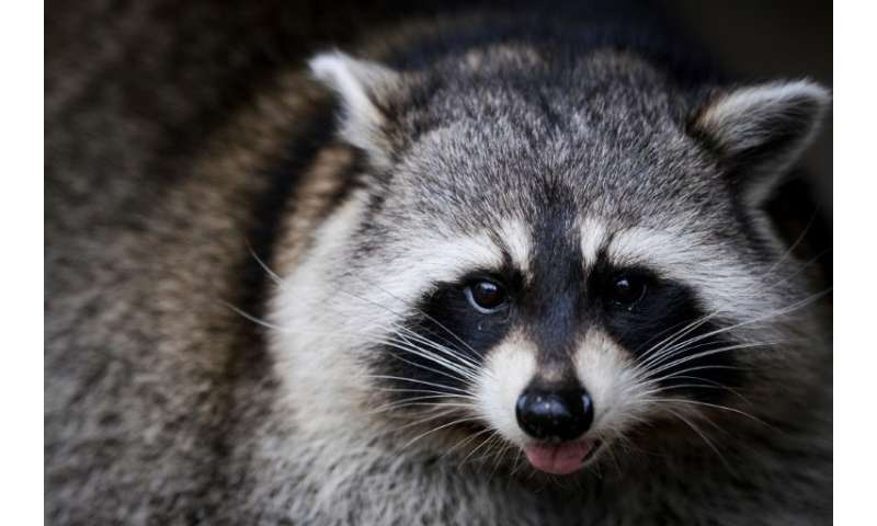 Raccoons are normally shy nocturnal animals